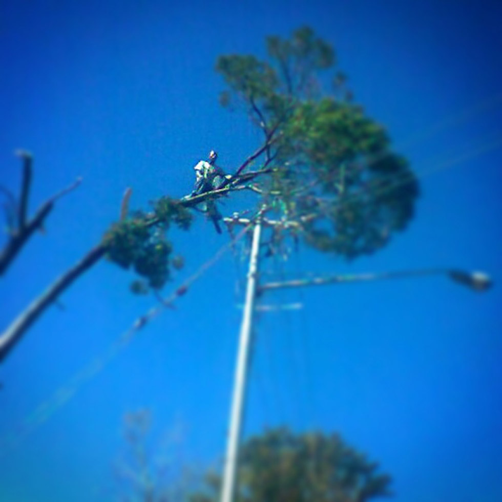 Pretoria based T & L Tree Fellers removing a tree before it falls on electric wires