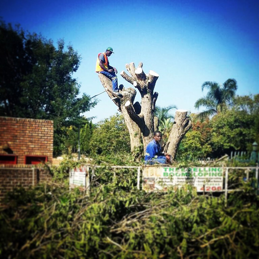 T & L Tree Fellers at work cutting down a large tree in Constantia Park, Pretoria